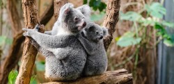 koalas earthgonomic